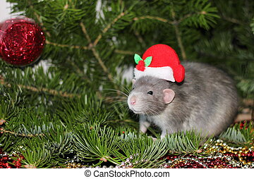 Christmas gray rat in a Christmas hat among the background of a natural Christmas tree. Symbol of the new year 2020