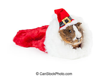 Christmas Guinea Pig in Stocking