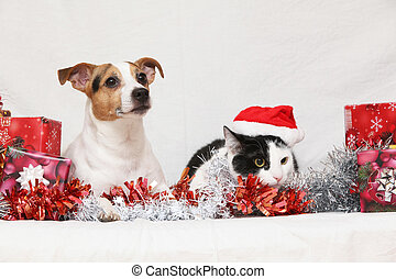 Christmas Jack Rusell terrier with a cat on white background
