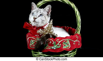 Christmas Kitty - white kitten with a red bow around its...