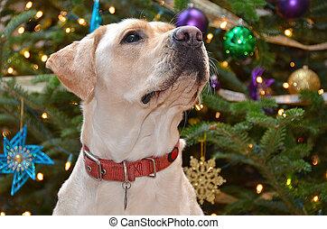 Christmas Labrador Retriever