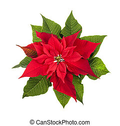 Christmas poinsettia plant isolated on white - Red and green...