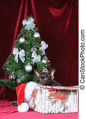 Christmas portrait of chihuahua under the tree