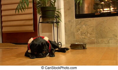 Christmas Pug zolly - Zooming dolly shot into a Cute Black...