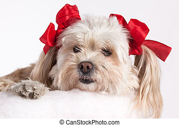 Christmas Puppy Girl - cute Christmas Maltese Terrier on a...