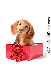 Christmas puppy - A dachshund puppy for Christmas!