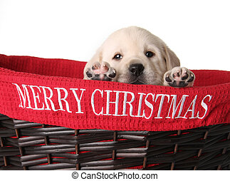 Christmas puppy - Yellow labrador puppy in a red Christmas...