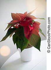 Christmas red flower punch pot in a pot on a white table