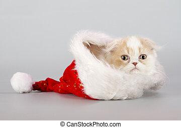 christmas scottish fold kitty laying in Santa hat