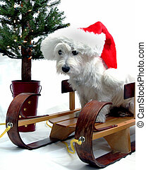 West Highland Terrier wearing a red Santa cap and sitting on a sled with a Christmas tree in background