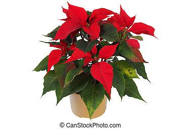Christmas Star Flower, Poinsettia