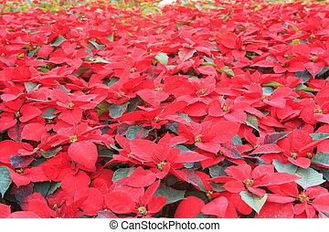Christmas star or Poinsettia