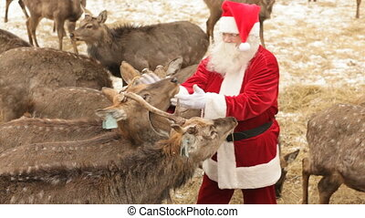 Christmas treat - Santa Claus feeding his favorite deer on...