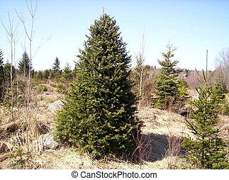christmas tree balsam fir, lunenburg county nova scotia Canada