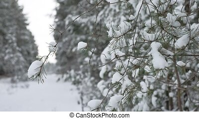 Christmas tree branch in snow winter forest nature beautiful landscape, blurred background