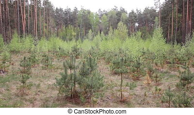 Christmas tree grove in the forest