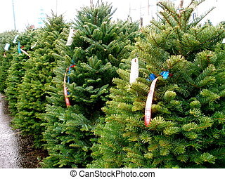 Line of green fir trees on a Christmas tree lot.