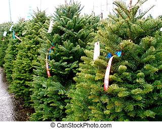 Christmas Tree Lot - Line of green fir trees on a Christmas...