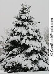 Christmas Tree - Pine tree laden with snow looks like it...