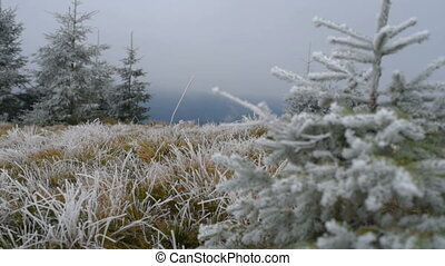 Christmas tree with frost. - Grass covered with frost, wind...