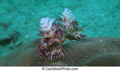 Christmas Tree Worm. Calcareous Tube Worm. Serpulidae