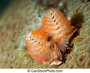 Christmas Tree Worm picture taken in south east Florida.