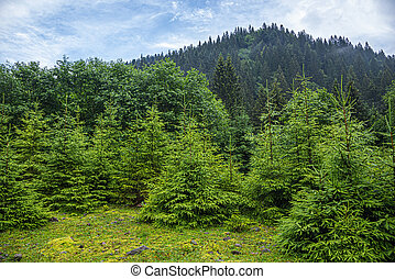 Christmas trees in the mountain forest.