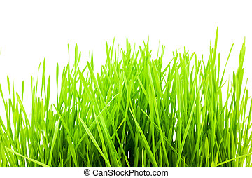 Christmas wheat, grass isolated on white background.