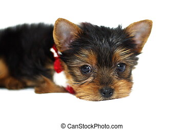 Christmas Yorkie - cute little Yorkshire Terrier puppy...