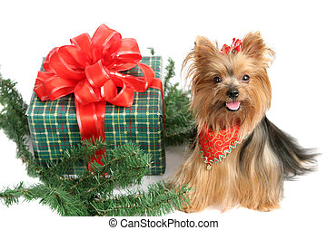 Christmas Yorkshire Terrier - An adorable yorkshire terrier...