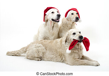 golden retrievers in Christmass outfit