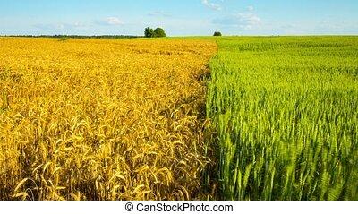 chronocinématographie, champ blé