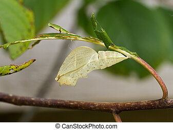 Chrysalis - Empty chrysalis of Brimstone butterfly ...