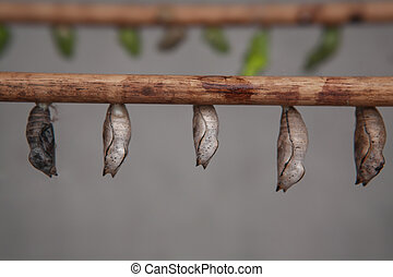 Chrysalis on a twig