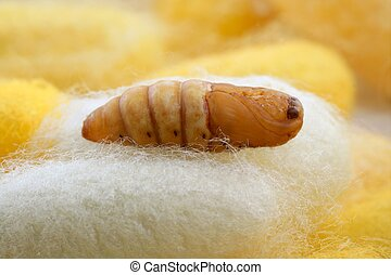 chrysalis silkworm on silk worm cocoon - chrysalis silkworm...