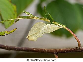 Chrysalis - Empty chrysalis of Brimstone butterfly...