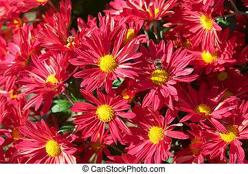 chrysant, bloembed