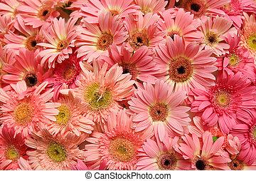 chrysant, bloemen