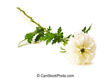 chrysant, (mums), vrijstaand, op, de, witte achtergrond