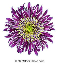 Chrysantemum Flower Purple with Lime Green Center