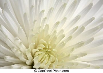 chrysanthème, blanc