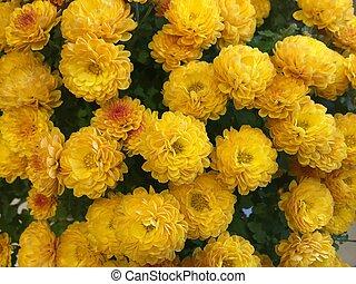 chrysanthème, buisson, clair, jaune
