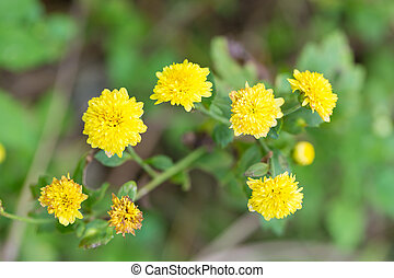 chrysanthème, buisson, fleurs, jaune, fleurir