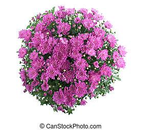 chrysanthème, buisson