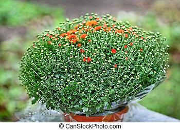 chrysanthème, buisson, pot fleurs, rouges
