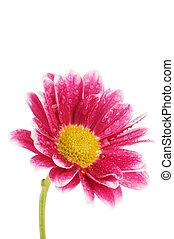 chrysanthème, fleur blanche, isolé, fond