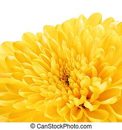 chrysanthème, fleur, jaune, pétales