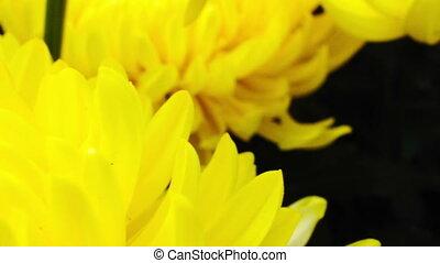 chrysanthème, fleur, jaune