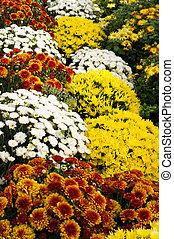 chrysanthème, fleurs, dans, fleur pleine