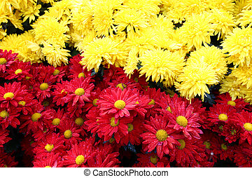 chrysanthème, fond